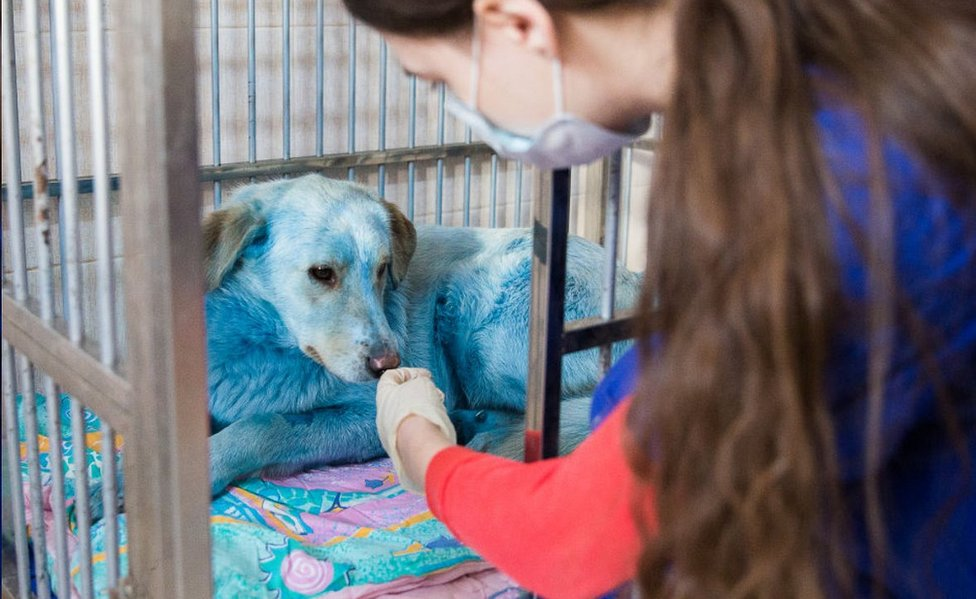 Blue-coated dog at vets' in Nizhny Novgorod, Russia, 19 Feb 21