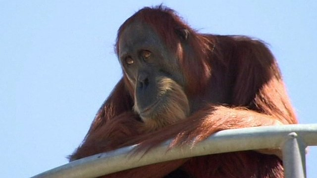 Puan the orangutan