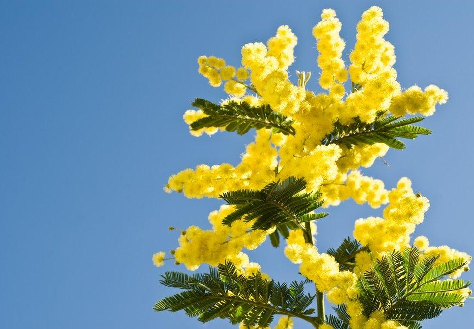 Hojas de mimosa con flores.