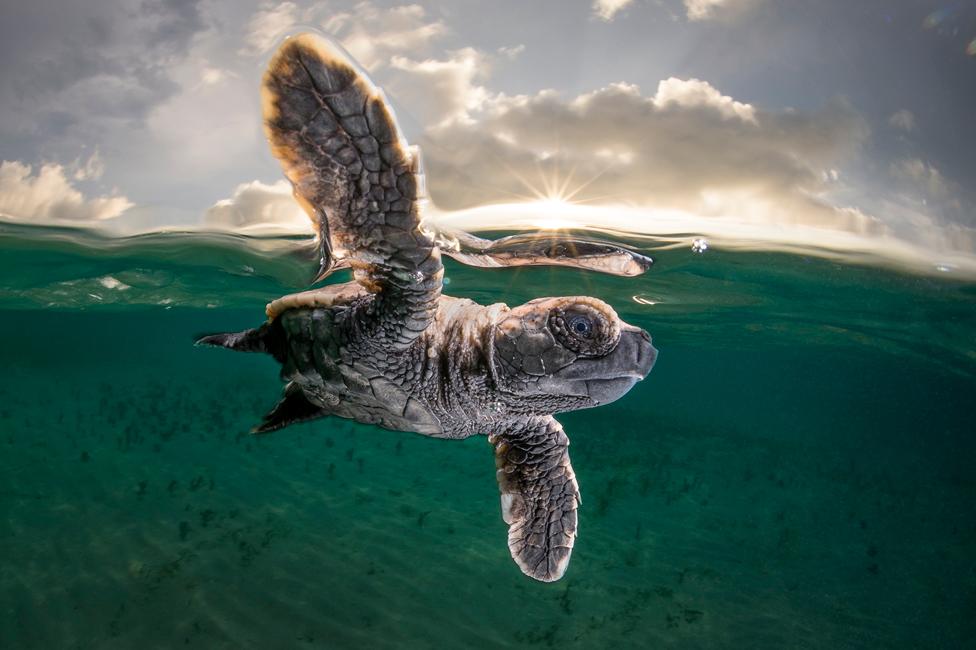 سلحفاة صغيرة تخرج من البحر