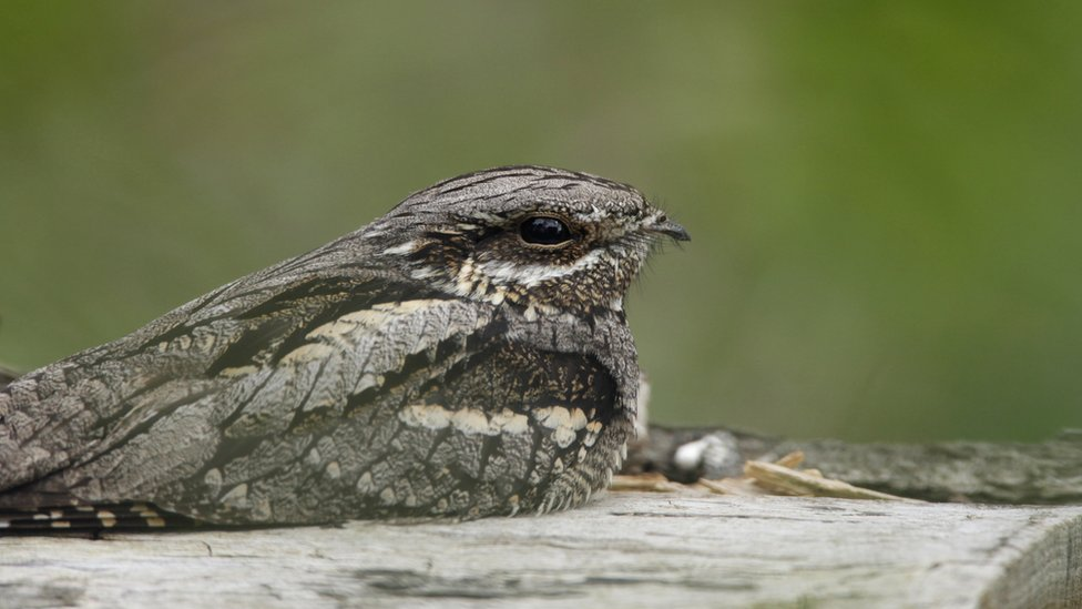 Elusive nightjar back at RSPB Sandy reserve