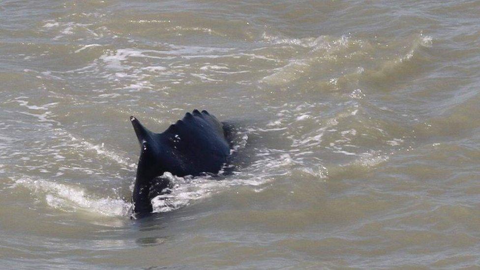 Yetkililer balinanın nehrin dışına çıkarılması için çalışmalar yürütüyor.