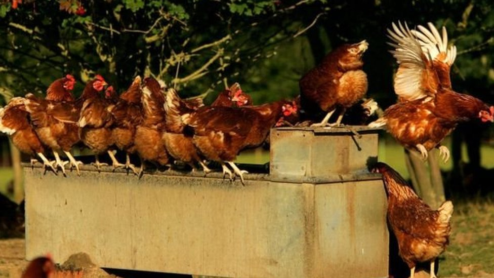 Ayam mengeluarkan jutaan telur setiap harinya.