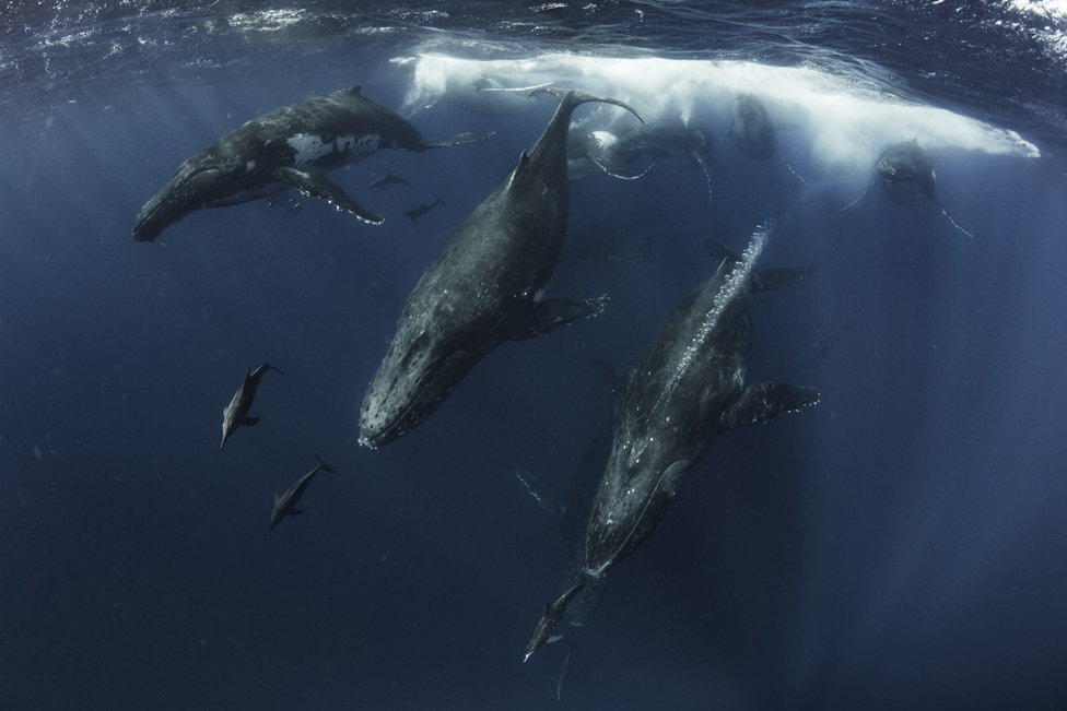 A group of whales and dolphins moving at high speed off the coast of Vava'u, Tonga.