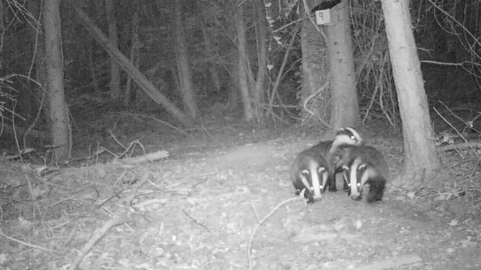 Badgers at night