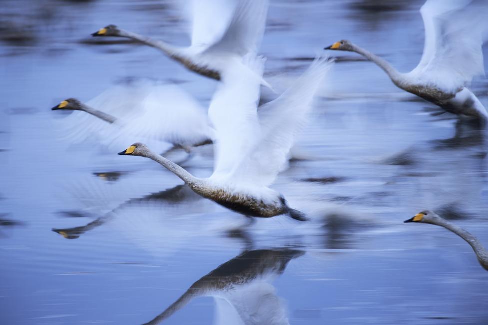 Swans fly through the air
