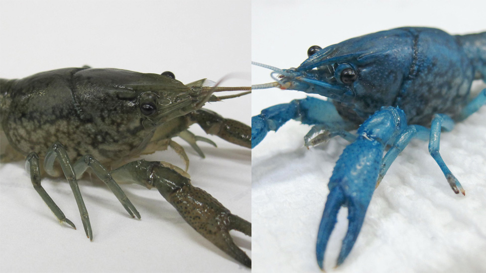 A split image of a grey marbled crayfish and blue marbled crayfish.