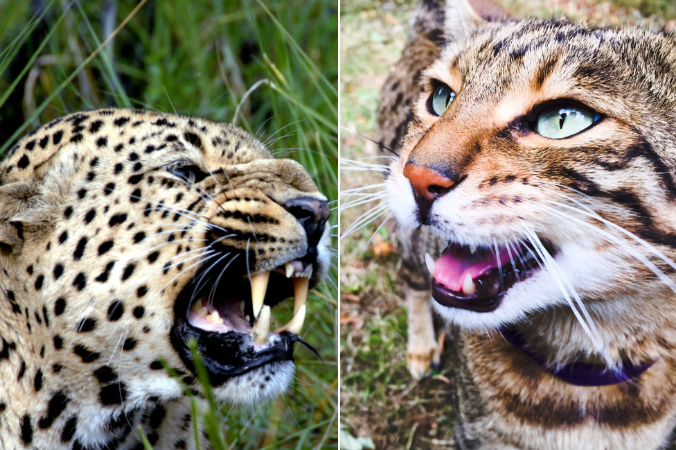Leopard and Bengal cat, Dougal