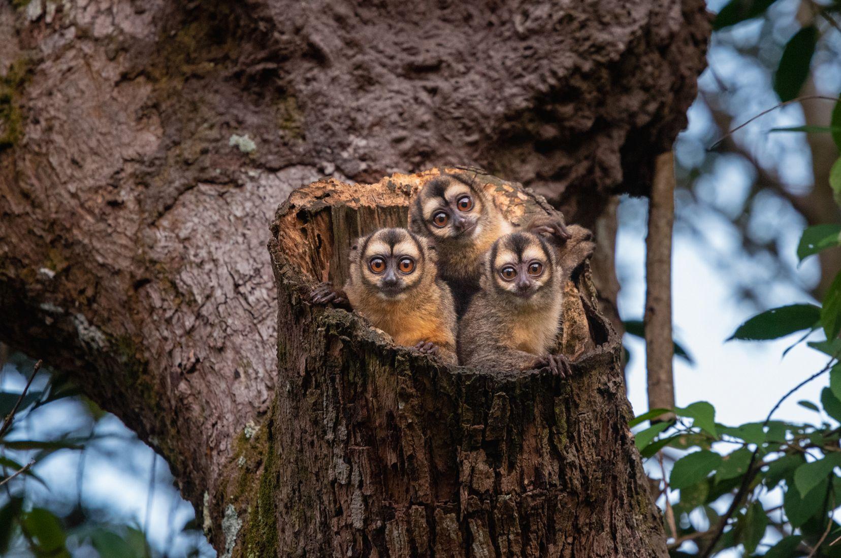 Tres monos nocturnos emergen sus cabezas con sus grandes ojos del tronco de un árbol en Villaviencio, Colombia, 2019