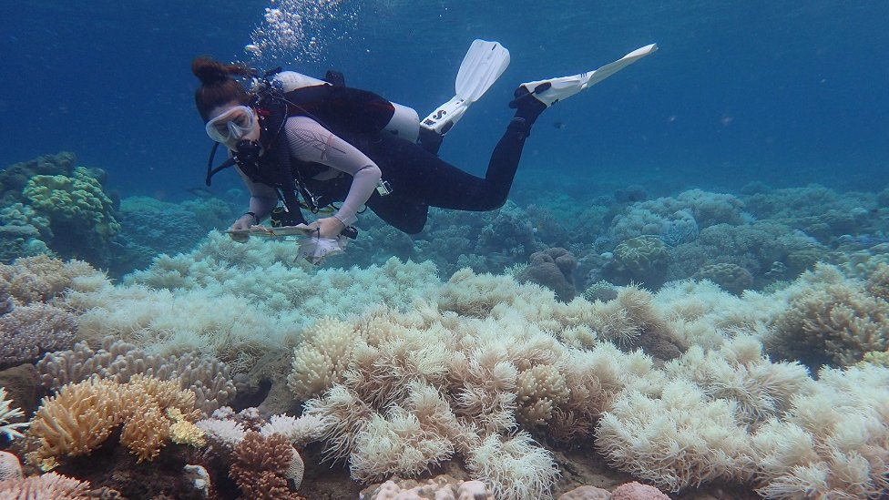 A diver inspects bleaching on the Great Barrier Reef