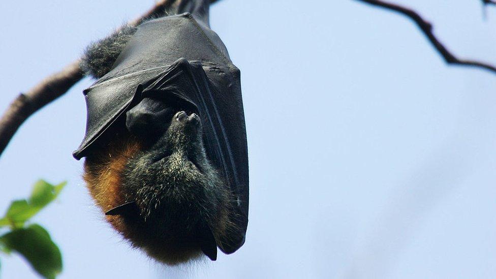 Morcego, 2008