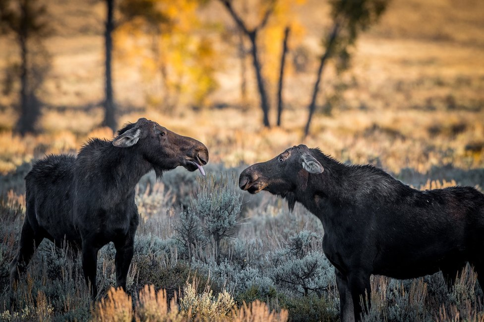A moose blowing a raspberry at another moose