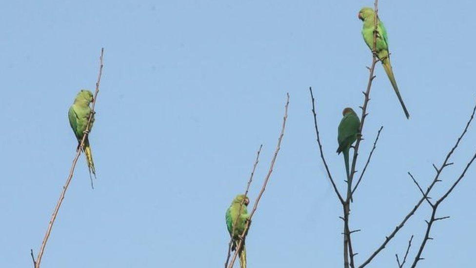 Petani opium pertama kali melaporkan burung penggangu pada tahun 2015.