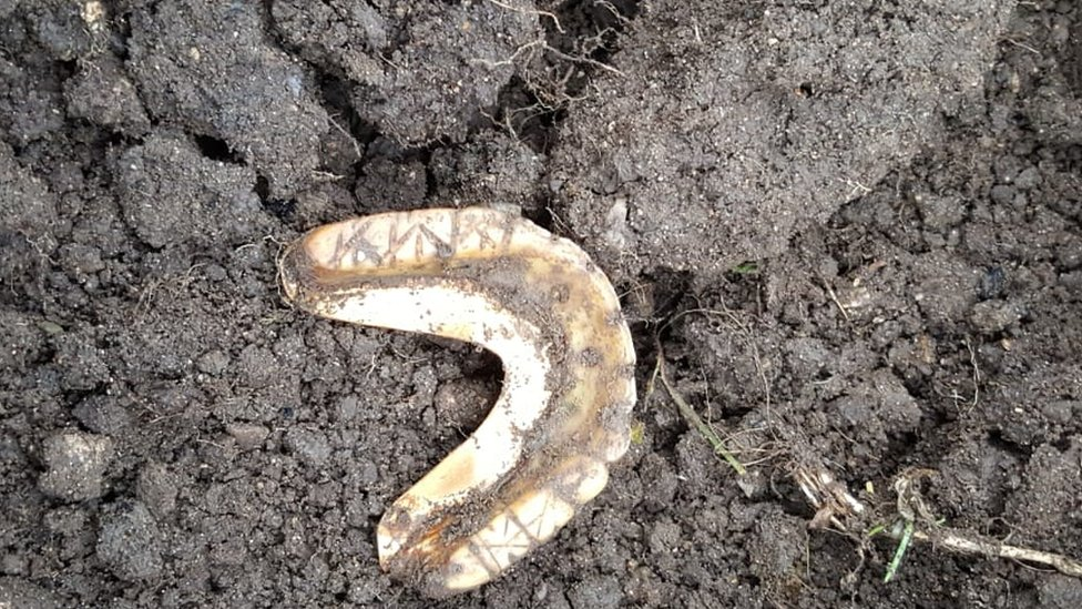 The teeth as they were found in Waterstock