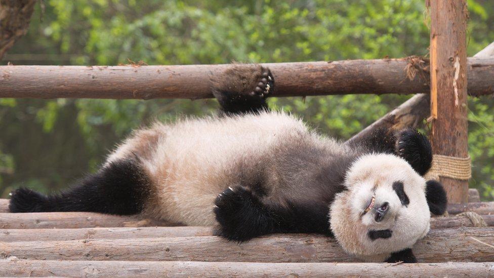 Panda bebé
