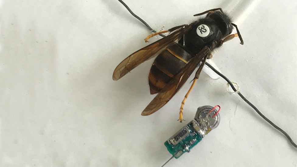 Asian hornet scientists in 'breakthrough' to stop spread