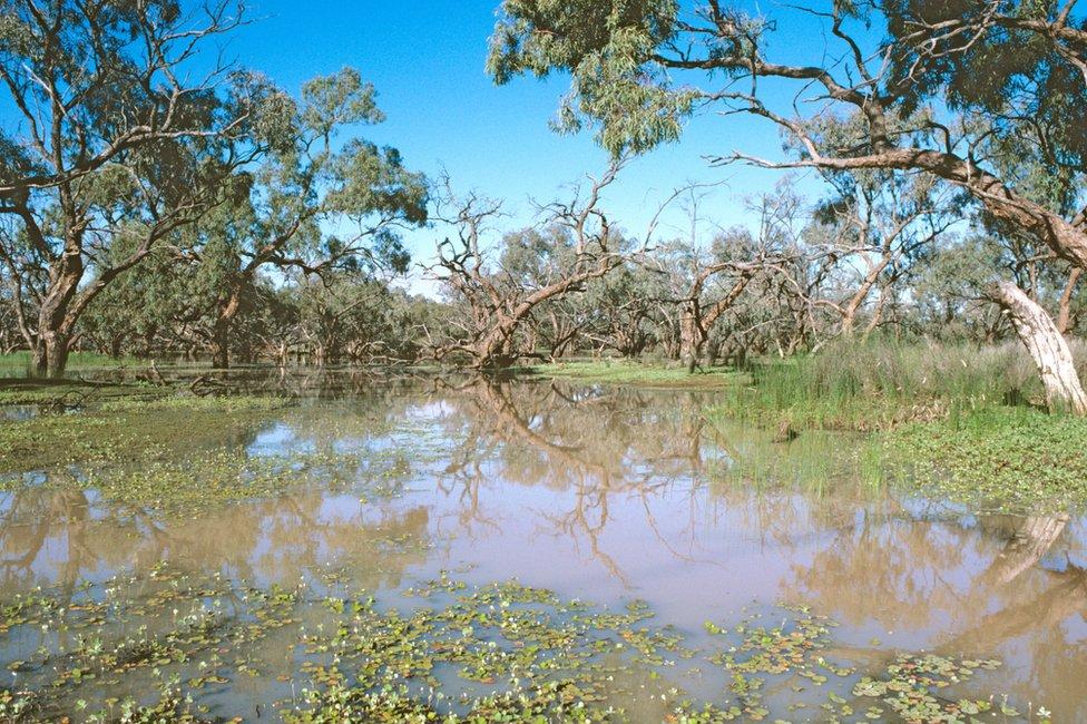 Nardoo flotando en un lago en Australia