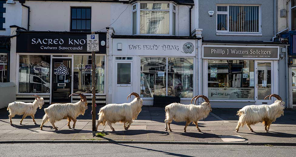 Goats stroll around deserted streets in llandudno