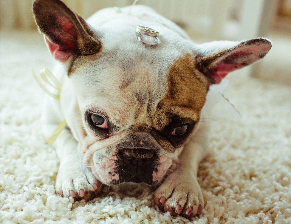A dog bearing wedding rings
