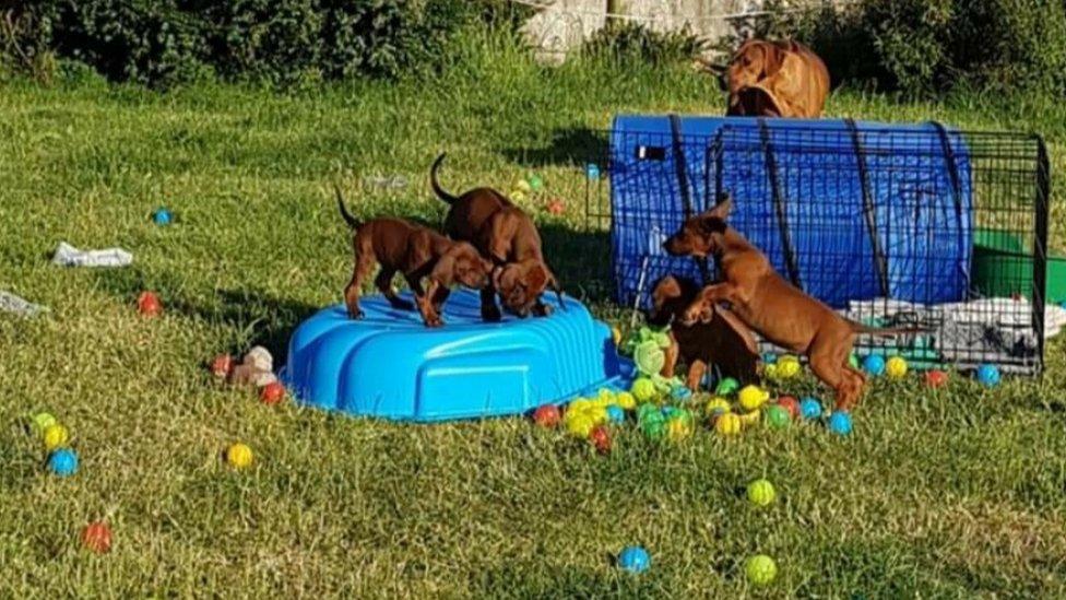 Lydia Scott's Rhodesian Ridgeback puppies