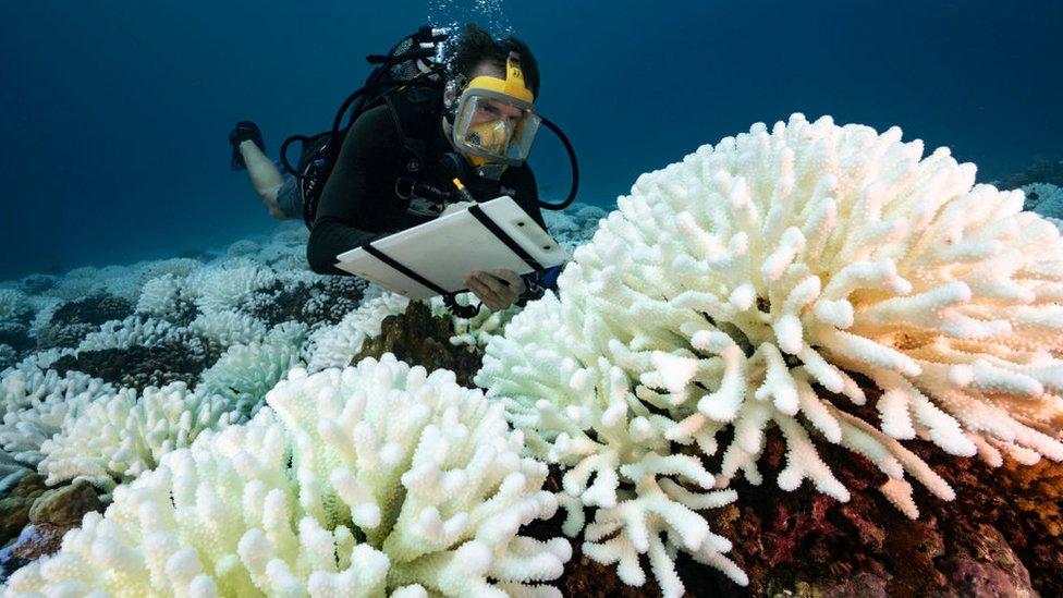 Blanqueo de corales.