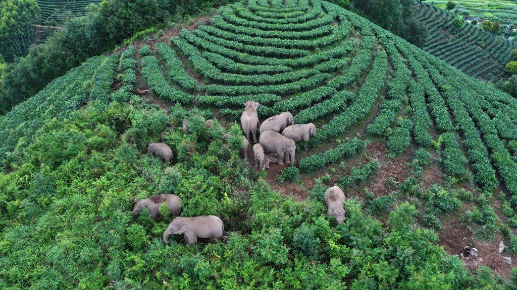 Asian elephants wandering in Yunnan