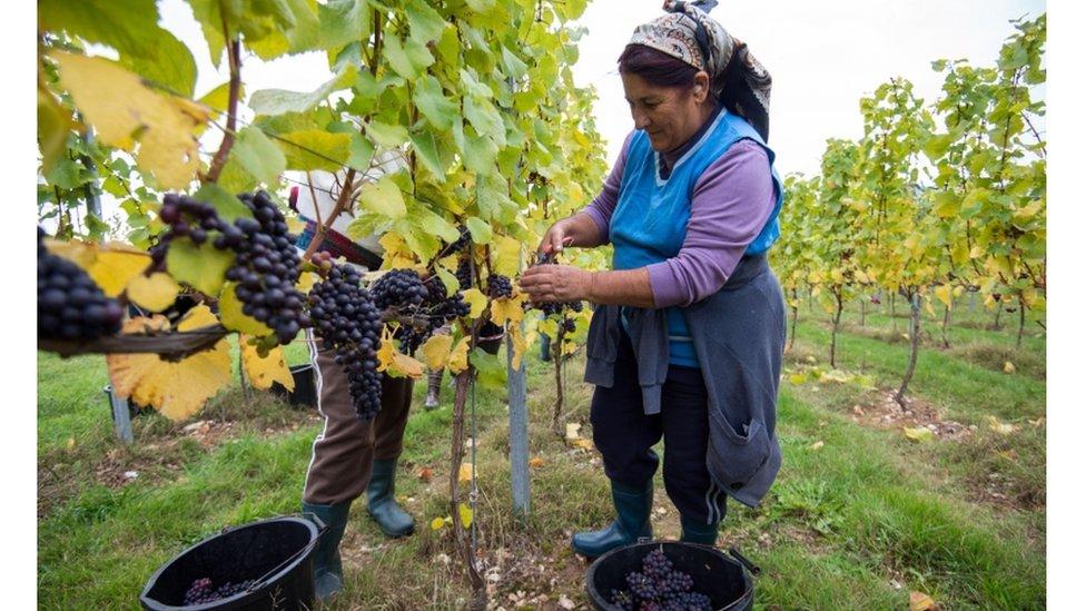葡萄酒莊園工人