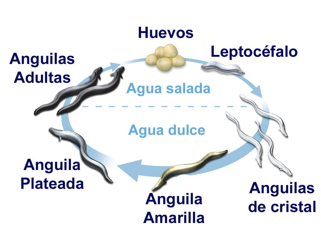 Ciclo de vida de las anguilas