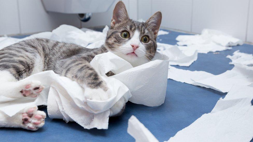 Gato con papel higiénico.