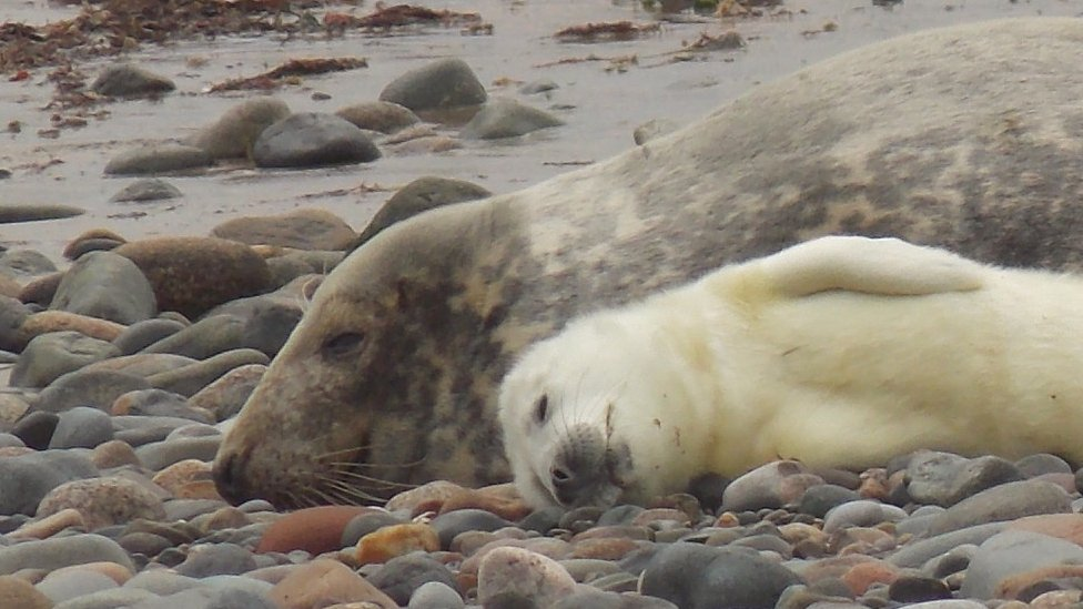 Seal pup sleeping alongside its parent