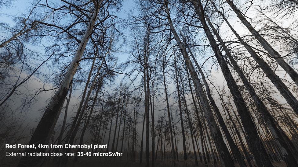 Bosque Rojo, a 4 km del reactor de Chernobyl.