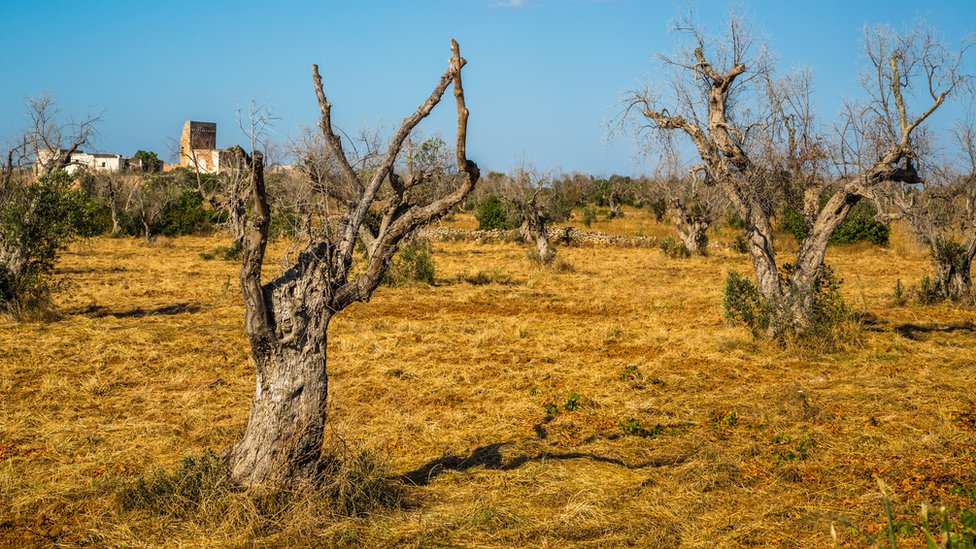 Olive trees killed by the disease in Italy