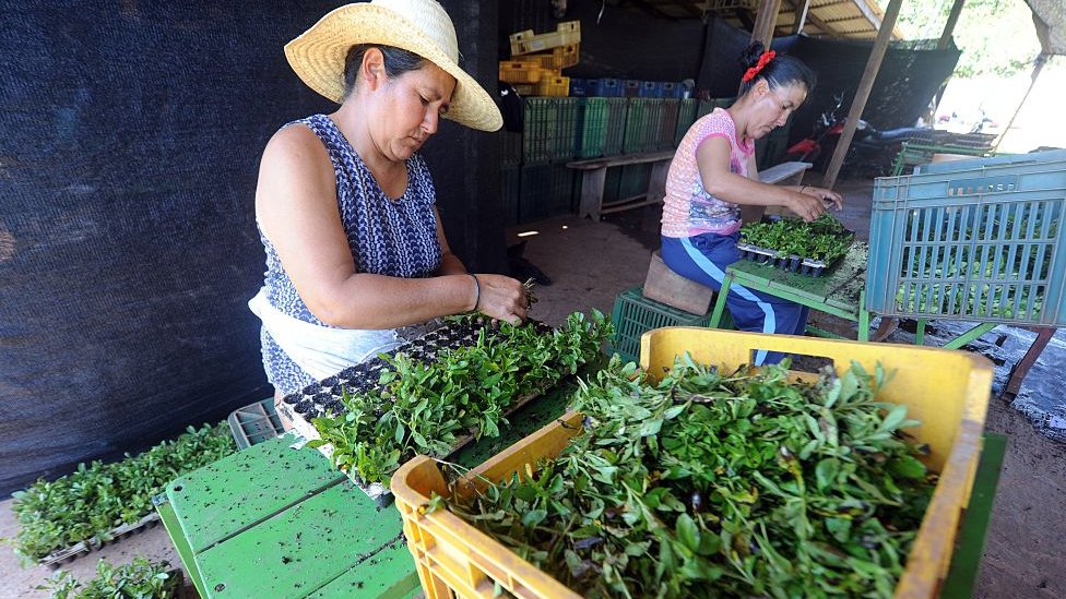 Producción de stevia