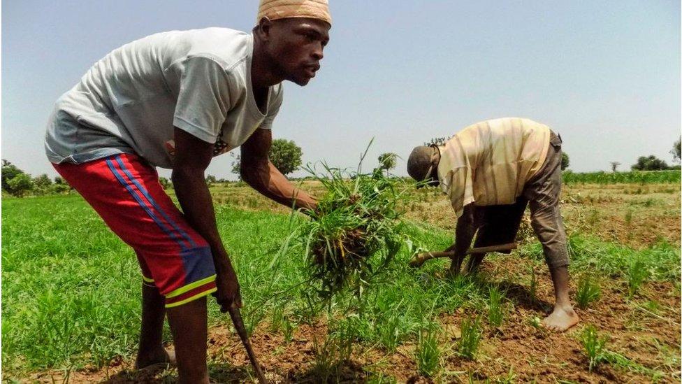 Nigerian rice farmers