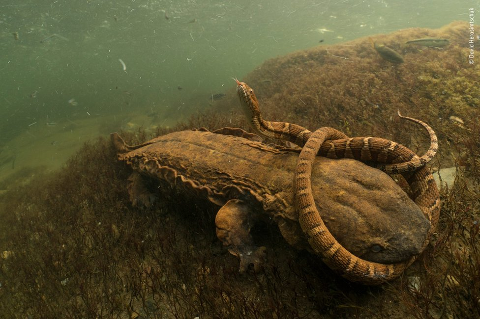 A Hellbender salamander wrestles with a northern water snake