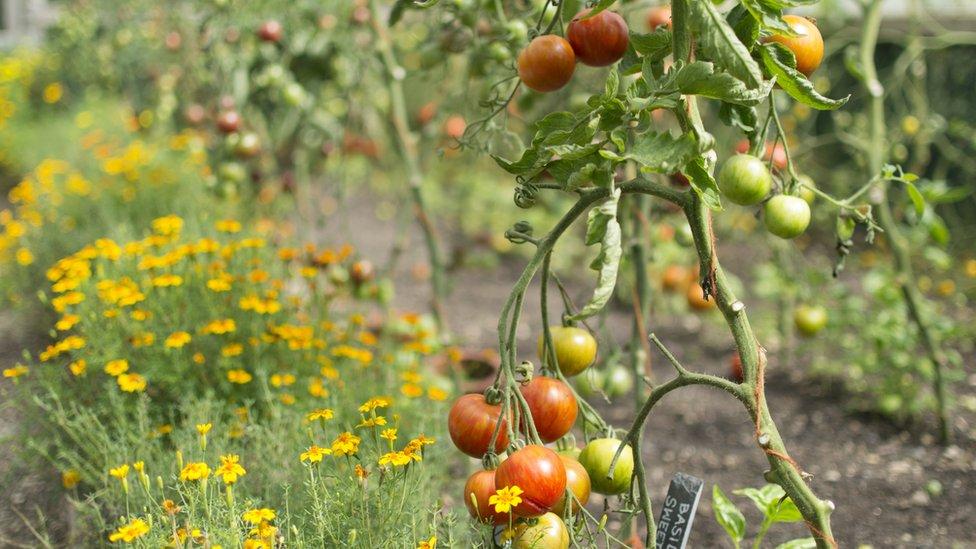 Marigolds and tomato plants