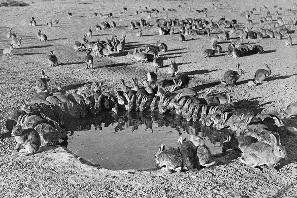 Conejos en Australia en 1938
