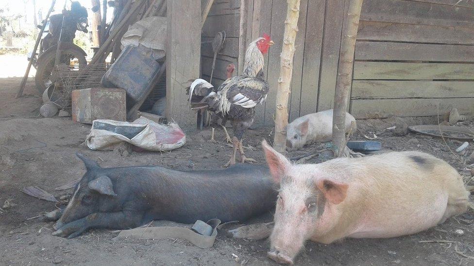 حيوانات داجنة في الساحة الخلفية لمنزل إيدي وروميلدو