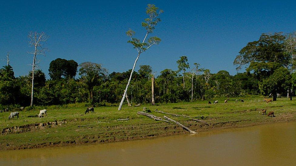 Ganado cerca de un tributario del Amazonas