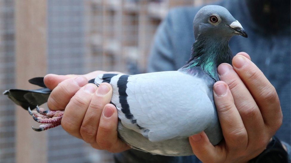 New Kim: Racing pigeon from Belgium sold for record €1.6m - BBC News