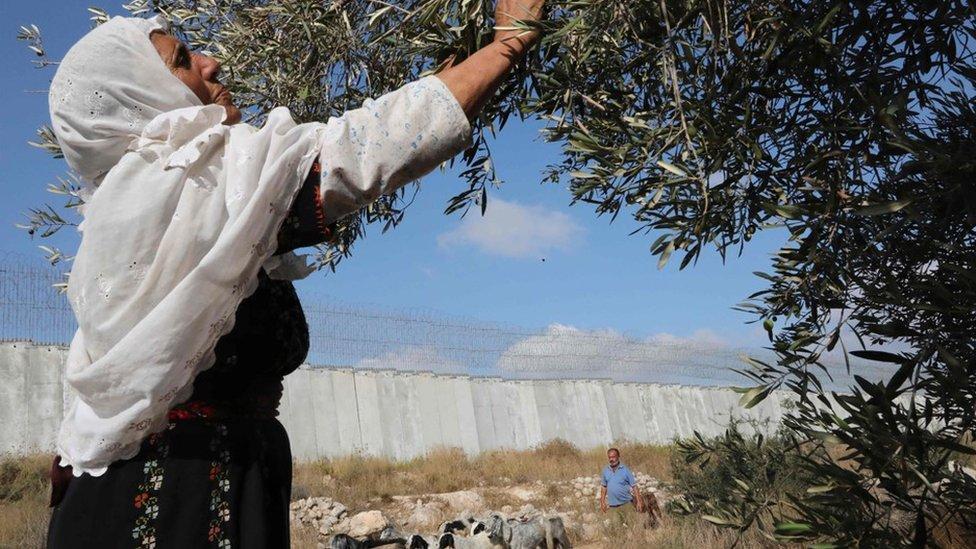 فلسطينية تقطف الزيتون قرب حاجز الفصل الاسرائيلي في قرية الدورة في الضفة الغربية (19 تشرين الأول/أكتوبر 2019)
