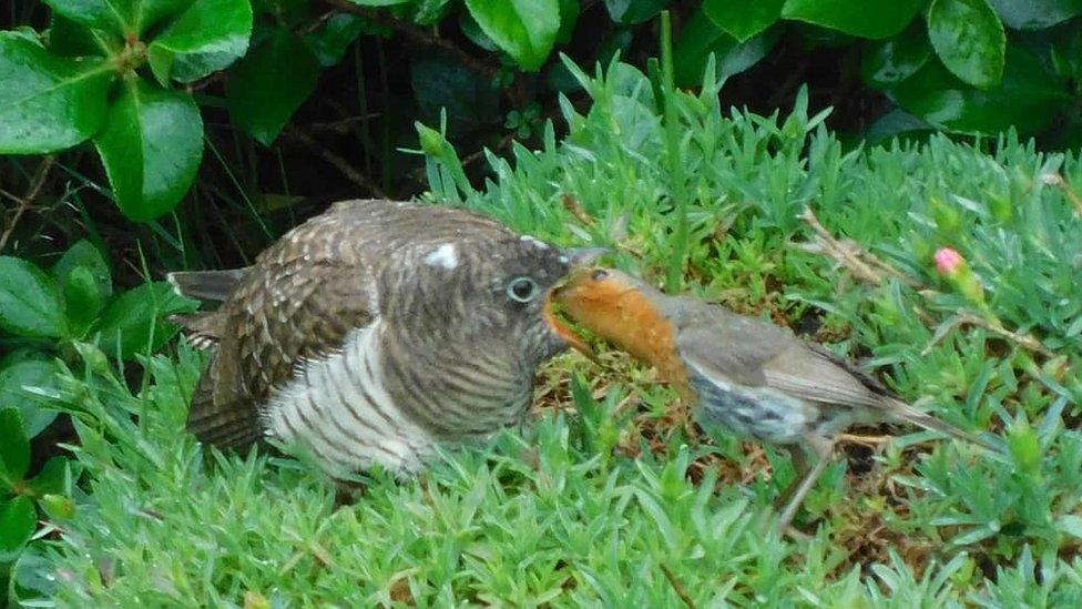 Cuckoo and robin