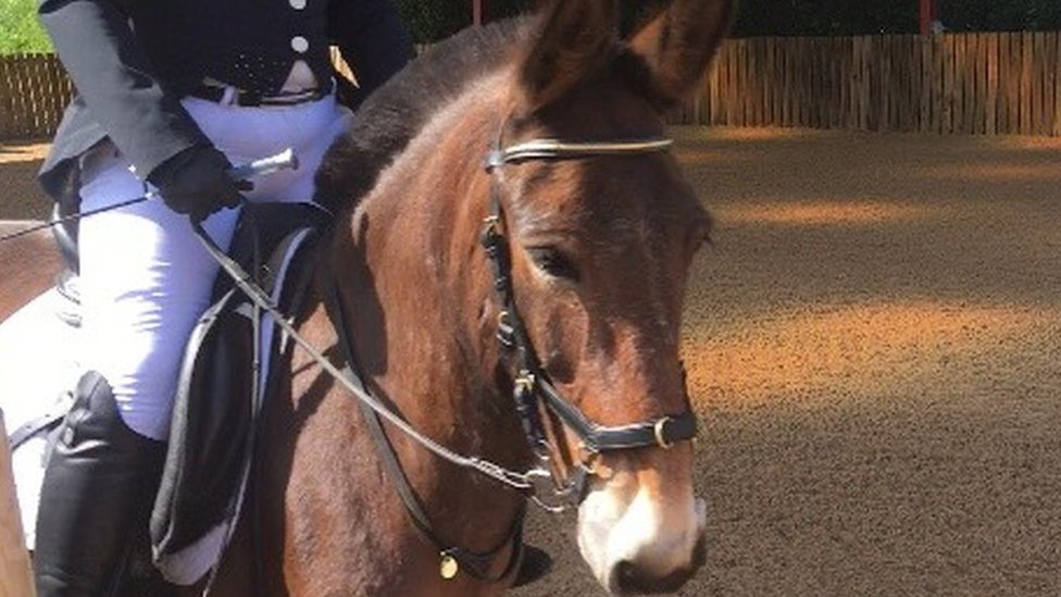 Wallace the mule gets permission to compete in dressage