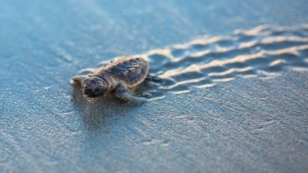 Tortuga recien nacida caminando en la arena