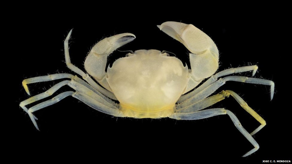 The Harryplax Severus crab