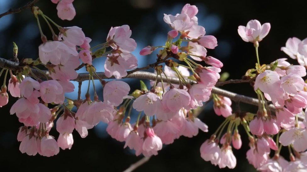 Rani cvat snimljen u Tokiju u martu 2018.