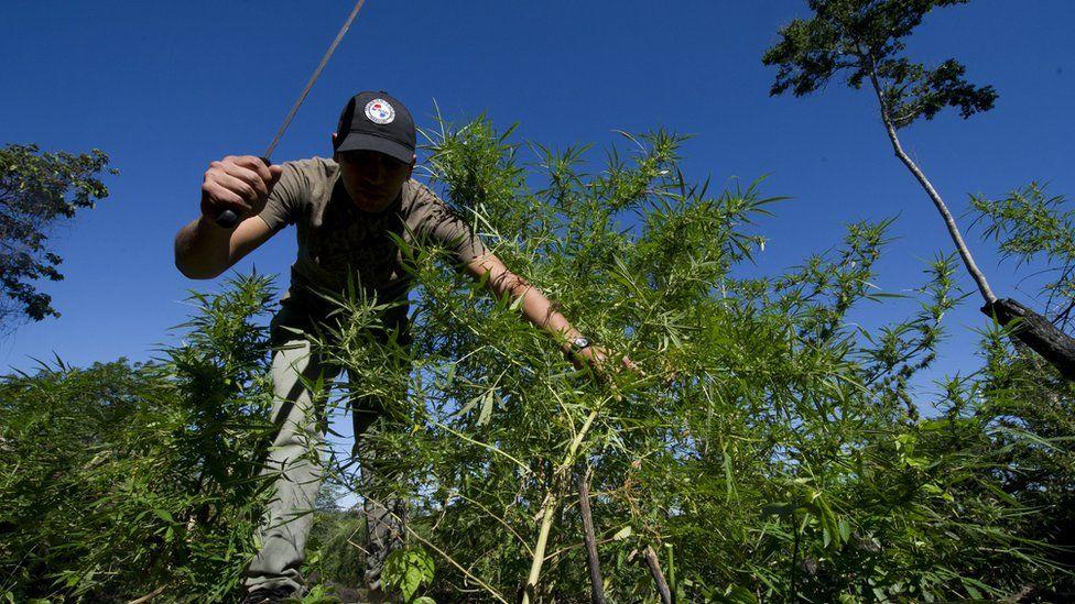 Hombre cortando plantaciones de marihuana.