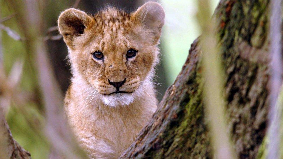 mladunče lava