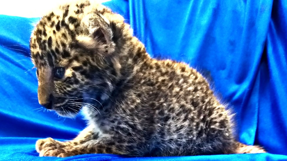 A leopard cub seized from the luggage of a passenger travelling from Bangkok to Chennai airport, 2 February 2019