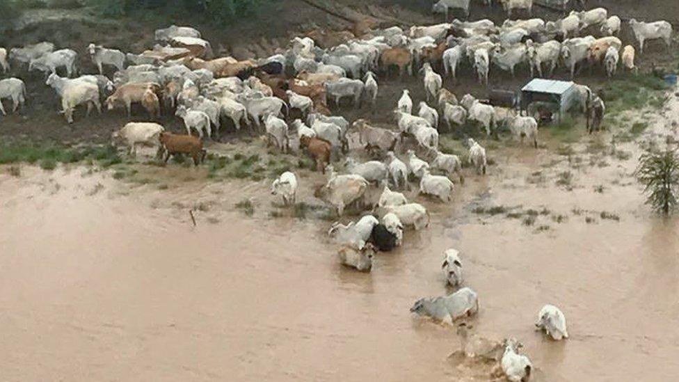 Avustralya'da selde mahsur kalan inekler